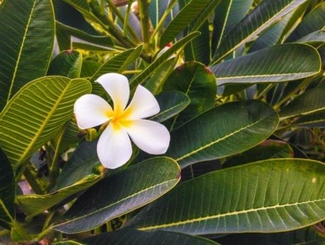 Frangipani tree in Bahrain