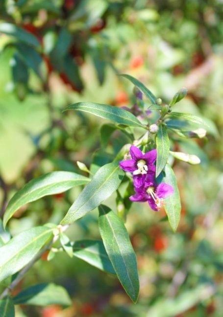 flowers that turn into goji berries at Gojoy Berry Farm - Aldergrove BC