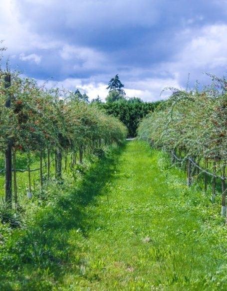 goji berries at Gojoy Berry Farm - Aldergrove BC