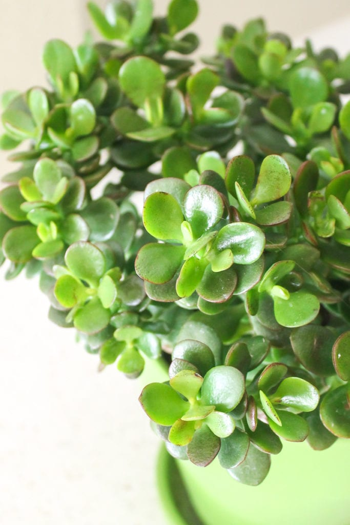 Jade - Top 8 low maintenance house plants for beginners - My Fresh Perspective