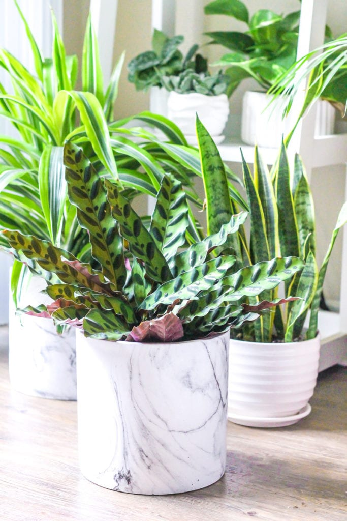 Rattlesnake Calathea - Top 8 low maintenance house plants for beginners - My Fresh Perspective