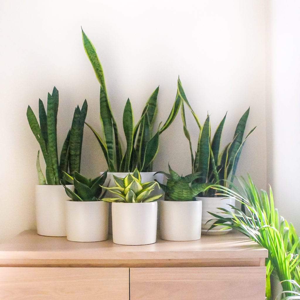 Snake Plant Family - Top 8 low maintenance house plants for beginners - My Fresh Perspective