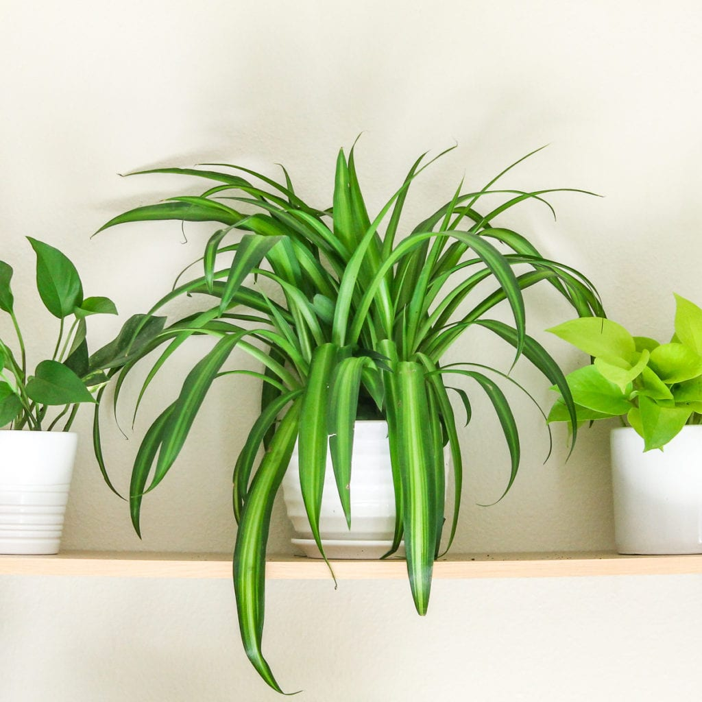 Spider Plant - Top 8 low maintenance house plants for beginners - My Fresh Perspective
