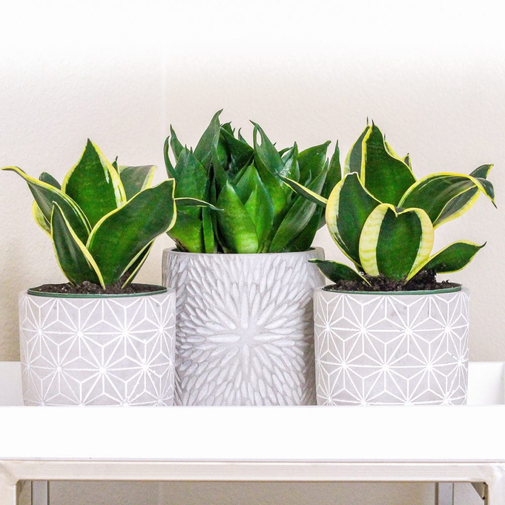 Snake Plant - Top 8 low maintenance house plants for beginners - My Fresh Perspective