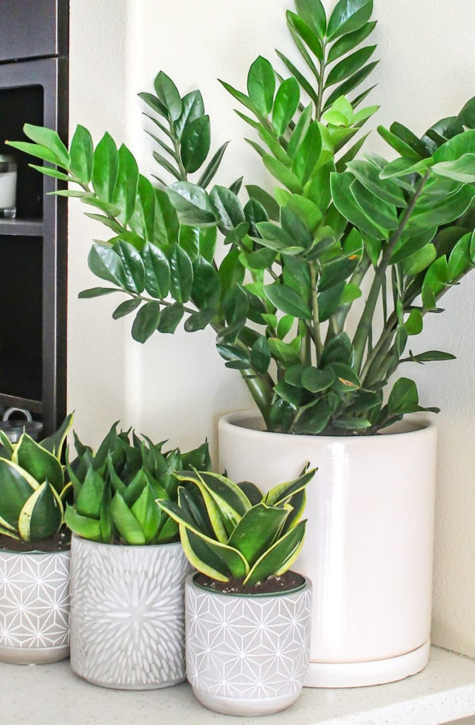 ZZ Plant and Snake Plants - Top 8 low maintenance house plants for beginners - My Fresh Perspective